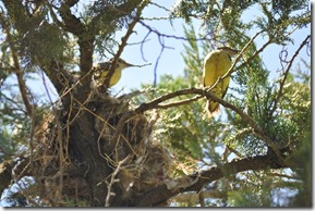 Pair of yellow birds with nest