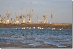 Shoreline with flamingoes