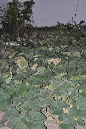 butternut squash plants