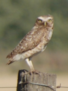 Owl on fence-post