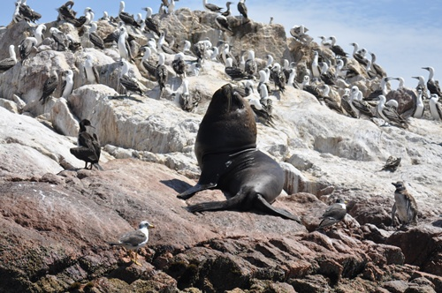 sealion and birds on a rock